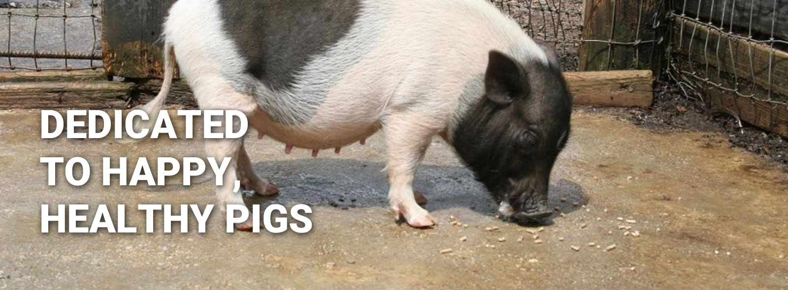 Miniature Potbellied Pigs