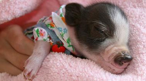 Potbellied Pig Owners
