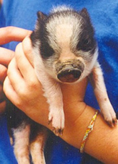 Miniature pig care